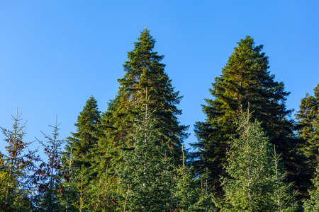 Green trees in a forest of old spruce, fir and pine trees in wilderness of a park. ecosystem and healthy environment concepts and background.