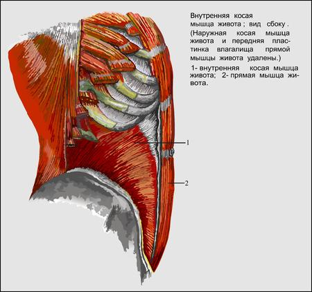 chest cavity: Human anatomy, Abdominis