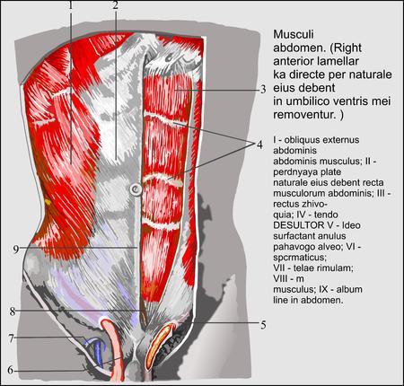 rectus: Human anatomy, Abdominal muscles