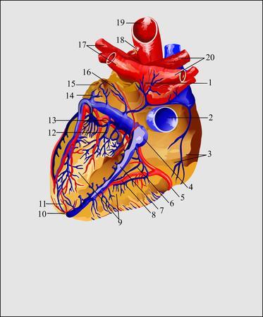 vasos sanguineos: Coraz�n, el coraz�n y los vasos sangu�neos Foto de archivo