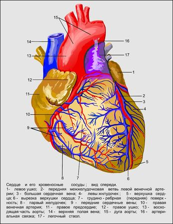 Heart , Heart and blood vessels