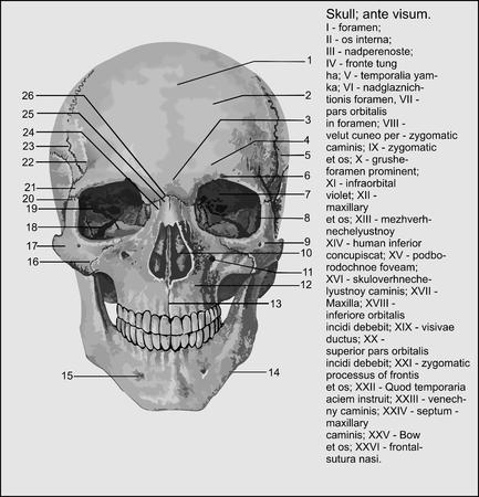 La Anatomía Humana, Del Abdomen Fotos, Retratos, Imágenes Y ...