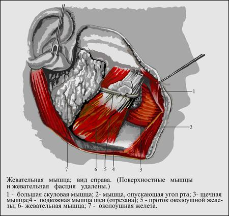 parotid: Human anatomy , Masseter Stock Photo