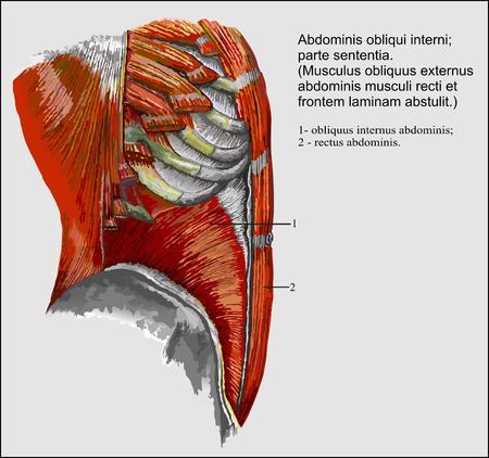 chest wall: Human anatomy, Abdominis