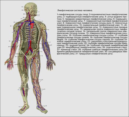 Anatomie des Menschen, das Lymphsystem des Menschen