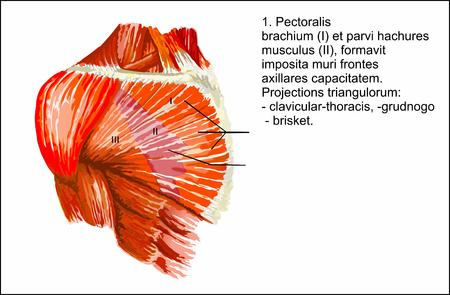pectoralis: Human anatomy , Pectoralis major muscle