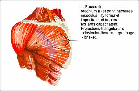 Human anatomy , Pectoralis major muscle