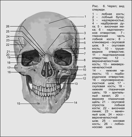 pear shaped: Human anatomy , Human skull