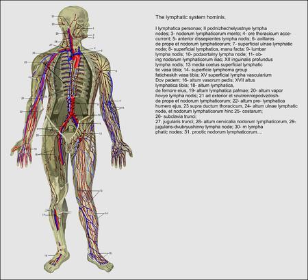 La anatomía humana, el sistema linfático de la persona