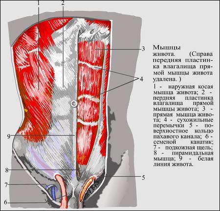 sheath: Human anatomy , Abdominal muscles