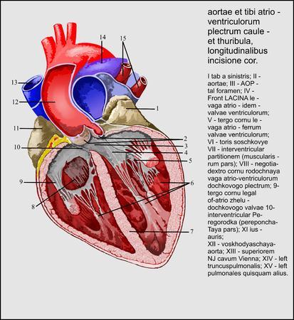 Aortic valve and atrioventricular valves Ilustração
