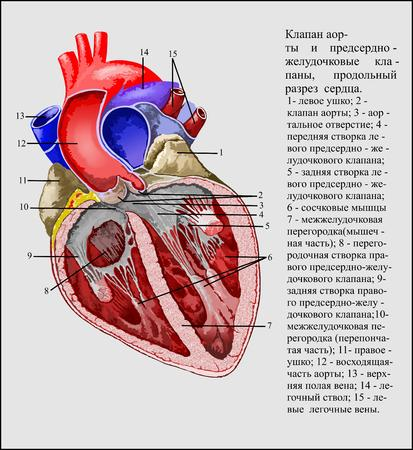 heart valves: Aortic valve and atrioventricular valves Illustration