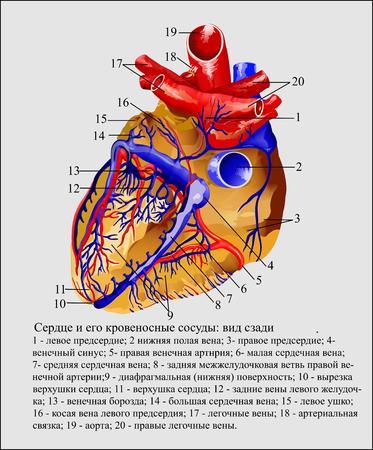 C?ur et les vaisseaux sanguins Vecteurs