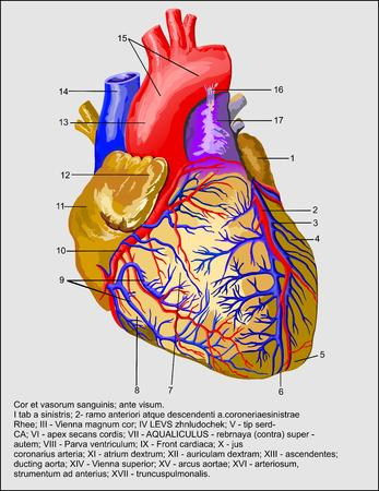 Heart and blood vessels