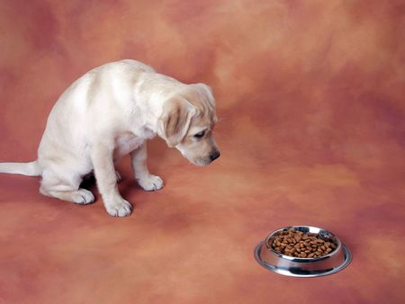 Labrador retriever puppy waiting patiently to eat Stock Photo
