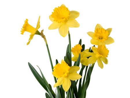 daffodils on white background
