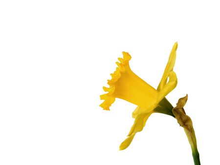 side view of daffodil on white background