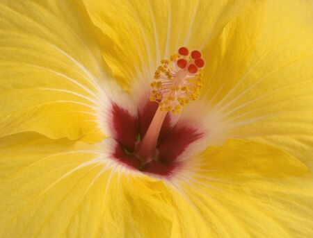 close-up of yellow hibiscus