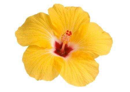 gele hibiscus bloom geïsoleerd op wit