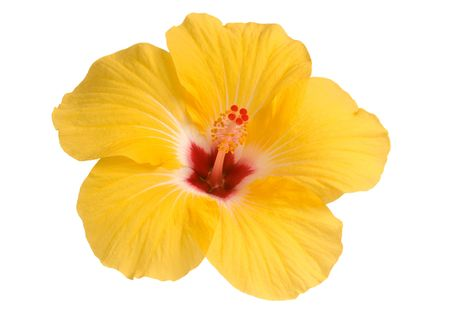 yellow stamens: yellow hibiscus bloom isolated on white Stock Photo