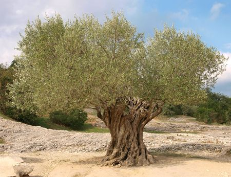 ancient olive tree with twisted trunk in Provence Stock Photo