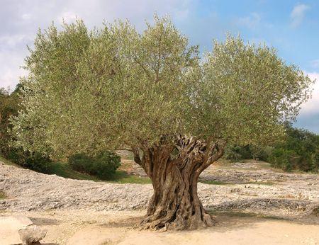 olivo arbol:   antiguo olivo con tronco retorcido en Provenza