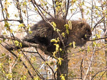North American porcupine relaxing in a tree Фото со стока