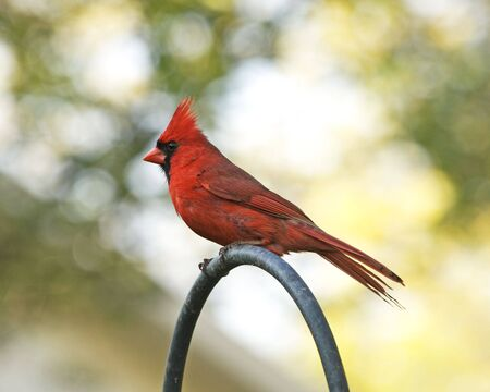 side view of a red male Cardinal Stock Photo
