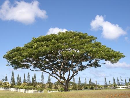 monkey pod tree