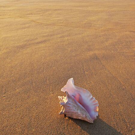 conch: Shell in setting sun