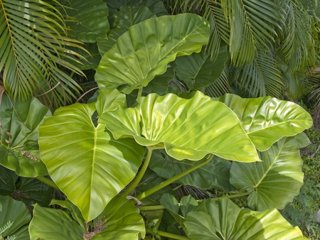 broad tropical leaves in rain forest