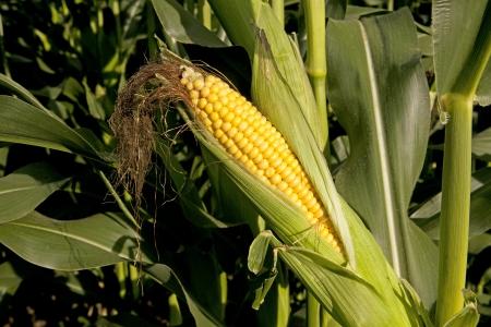Corn Cob Zdjęcie Seryjne