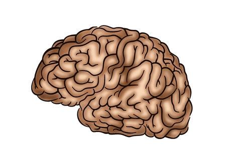 Human Brain - Illustration on white