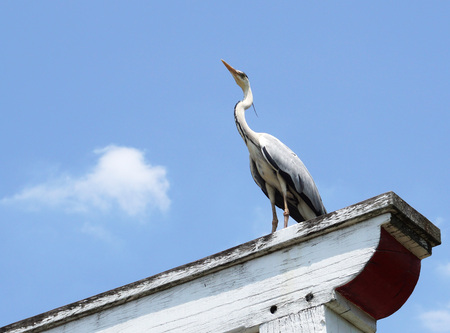 gray: Gray heron Stock Photo