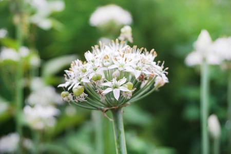 ニラの花 写真素材