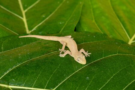 Asian or Common House Gecko Hemidactylus frenatus lies on green leaves. Hemidactylus frenatus climbs a tropical plant. Wall gecko, House lizard or Moon lizard is native of Southeast Asia.