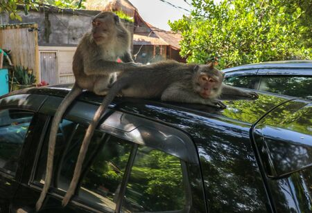 Naughty squirrel monkey on the roof of the white car. Monkey macaque sitting on the roof of a black car..