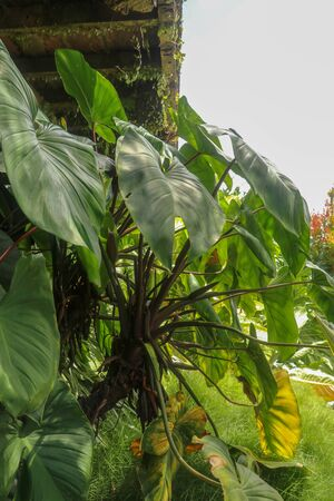 Tropical Anthurium plant growing wild in the garden. Green plant in the garden. Fresh green leaf background. Lush vegetation in mountains. Background with bottom of the terrace made of wooden beams.