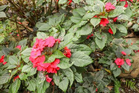 Colorful flowerbed of Busy Lizzie, scientific name Impatiens walleriana. Blossoms in pink, orange, white or red. Summer flowers Impatiens Walleriana. Red Impatience flowers in large plant, on branch. 免版税图像