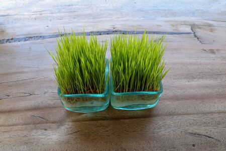 The root system is visible through the glass wall of the pot. Young green rice plant in square pot on table with massive wooden board. Seedlings of rice in small pots on table and clean background.