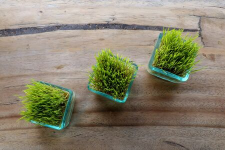 Rice plants in glass pot. Young green rice plant in square pot on table with massive wooden board. Top view rice seedlings in small pots, natural background. Part of restaurant table decoration.