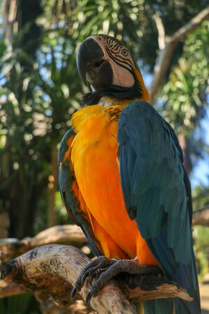 Beautiful colorful Ara Ararauna sitting on dry branch at Bali bird park zoo. Blue-and-yellow macaw or Blue-and-gold macaw with green flower in its beak. One of the most famous parrots of the world.