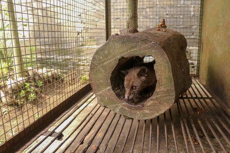 Cute Asian palm civet leží v díře v kmeni stromu. Civet cat portrait closeup Paradoxurus hermaphroditus produces Kopi luwak. Arctogalidia trivirgata is a viverrid native to South and Southeast Asia.