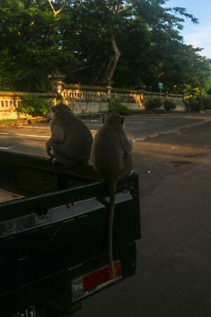 Long Tailed Macaque sits on the back of a truck and eats tropical fruits. Gray male primate with banana in hand. Monkey eating banana. One monkey sits on the car and eats banana.