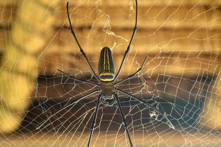 Nephila pilipes or golden orb-web spider. Giant Banana Spider is waiting for his victim. Macro closeup of Spider in the wild Asia Bali. Large colorful spider from Southeast Asia forests and woodlands. Foto de archivo