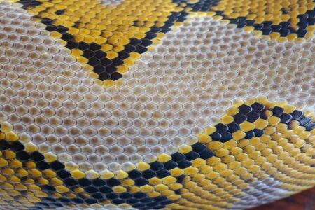 Close up of snake skin texture use for background. reticulated python is non venomous snake native to South and Southeast Asia. Macro photo python snake skin for background. Pattern Boa Snake skin.