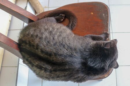 Black male Asian Palm Civet lying and resting on a wooden chair in a coffee shop in Bali, Indonesia. This Coffee is the most expensive coffee of the world. Asian Palm Civet produces coffe in farm.