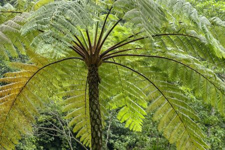 Crown of a tropical tree. A large fern in the rainforest. Cyathea arborea with a massive crown. Natural concept.. West Indian treefern.