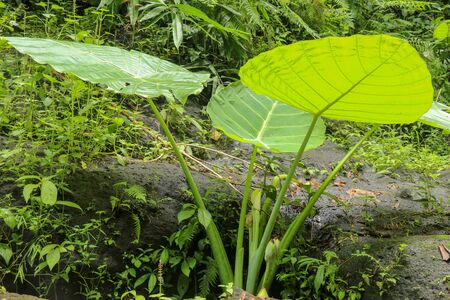 Colocasia Gigantea grows among boulders overgrown with moss. Dense thickets of plants in the rainforest. Giant Elephant Ear in deep jungle, Bali, Indonesia.