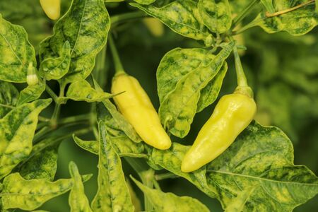 Green chili pepper plant on field agriculture in garden. Cayenne pepper grow on tree. Green chilli on the green chilli tree and agriculture in the village of Bali, Indonesia.